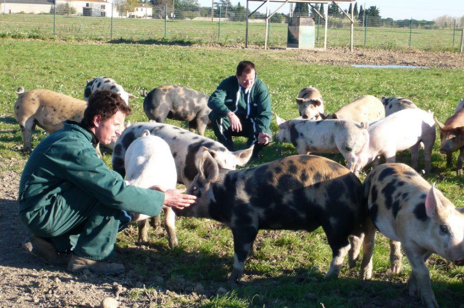 Les Cochons de la Ferme Beauregard à MARGUERITTES